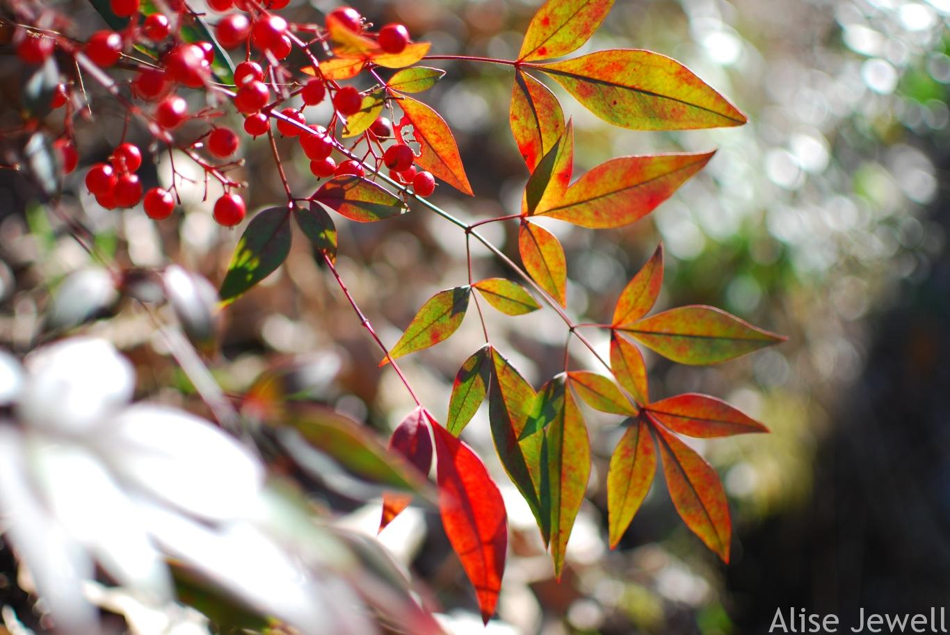 Nandina leaves and berries