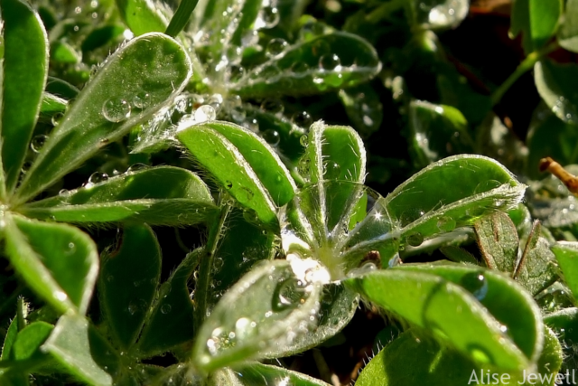 water drops on bluebonnet leaves