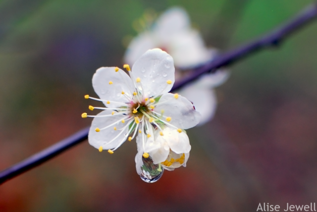 dewdrop on Mexican Plum blossoms