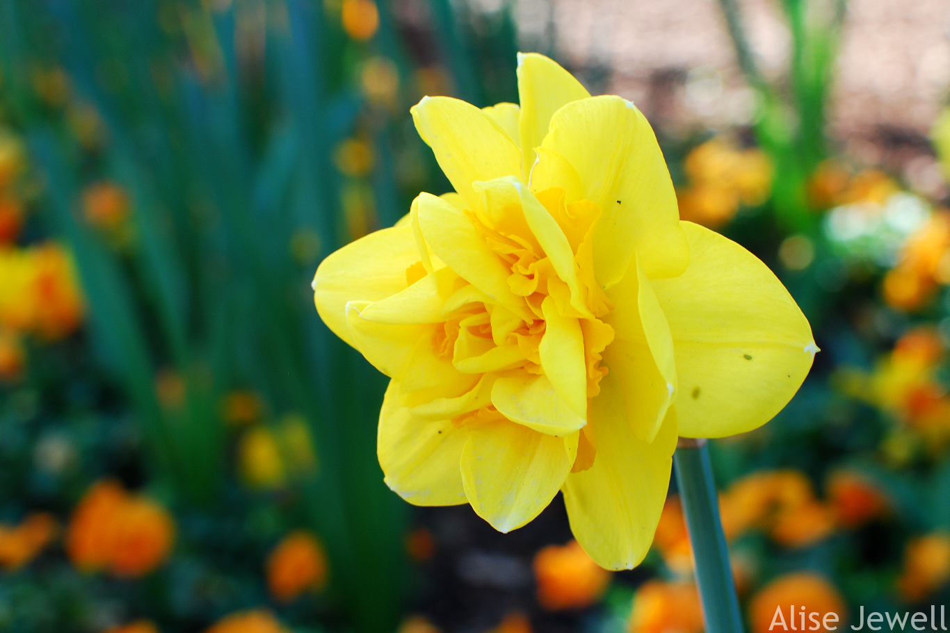 Fancy yellow daffodil