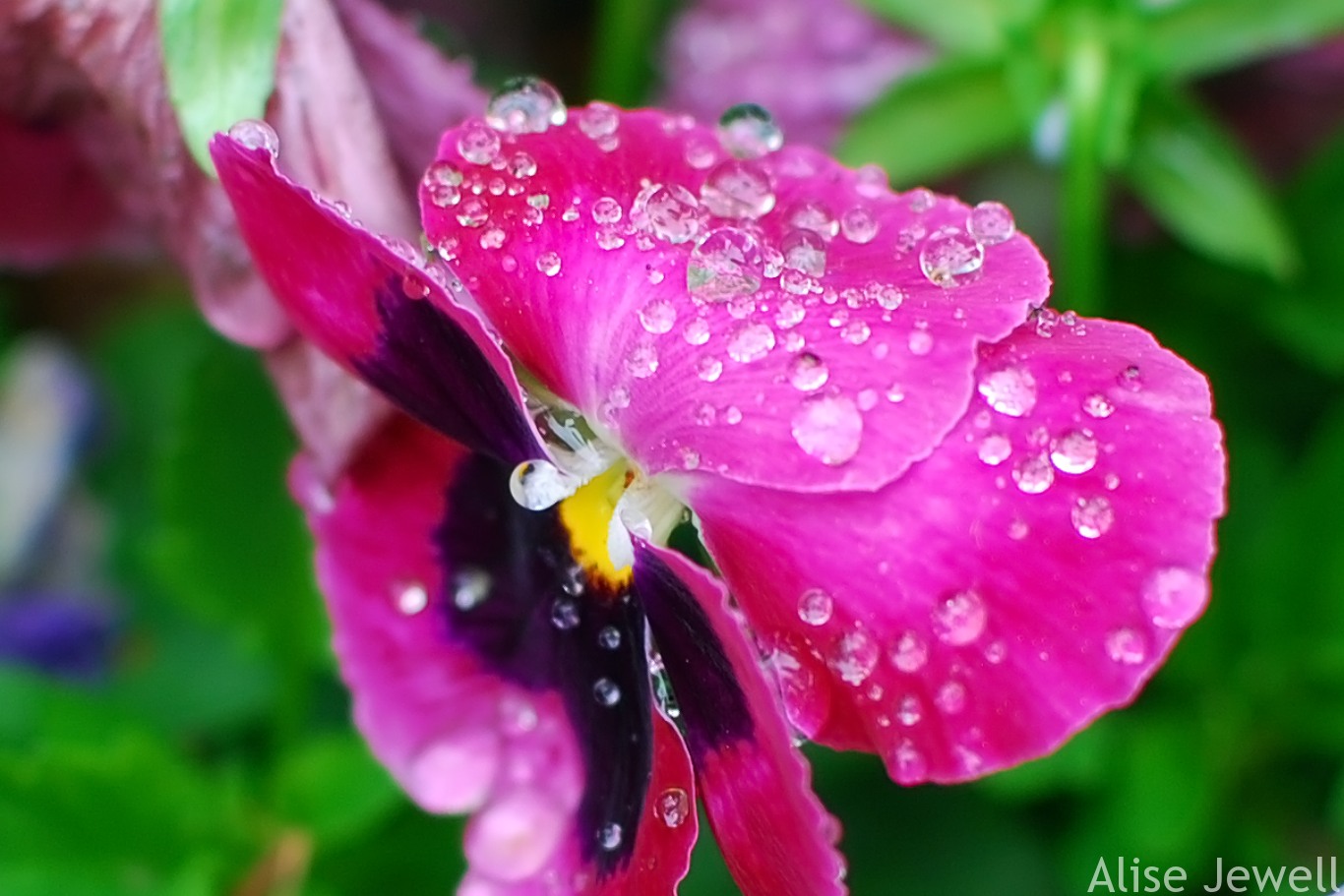dew covered pink pansy