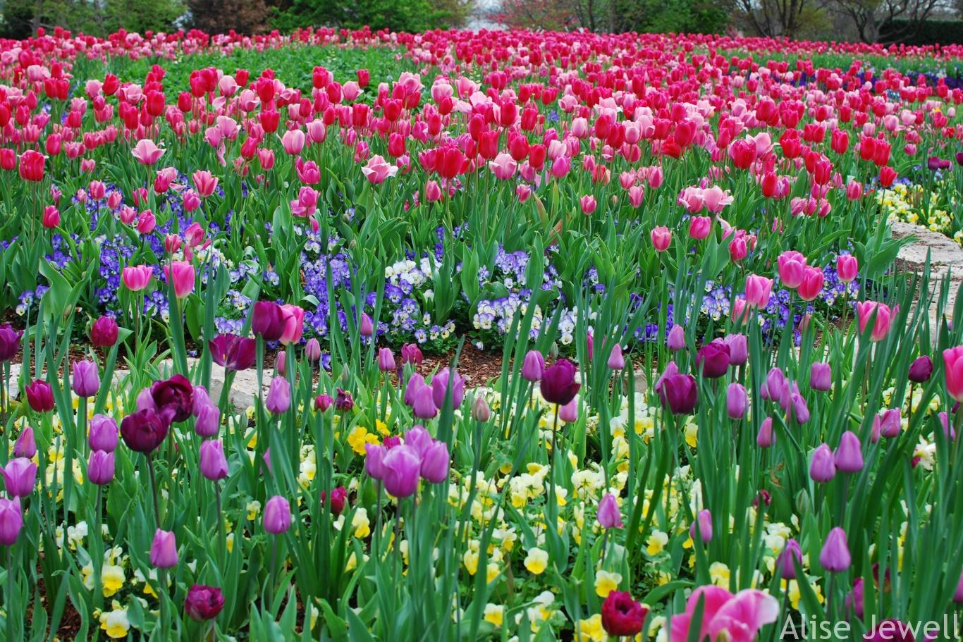 Tons of Tulips at the Dallas Arboretum
