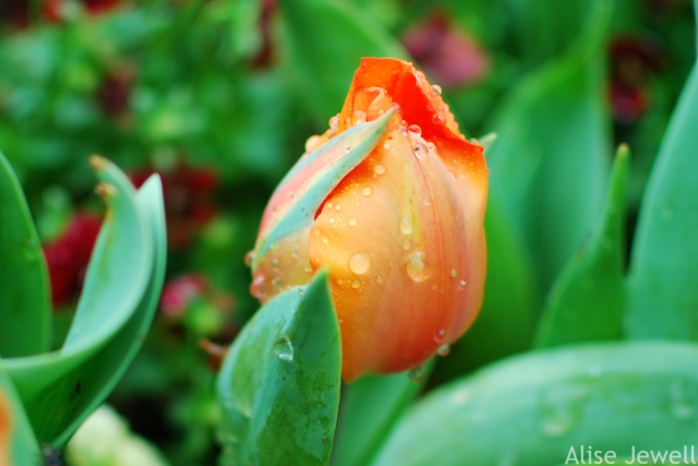 orange tulip bud with dewdrops