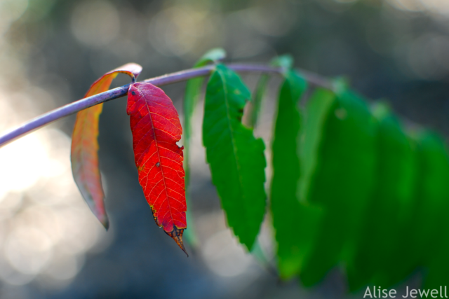 One red leaf among green