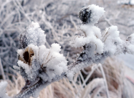Hoarfrost on Yucca seed pods