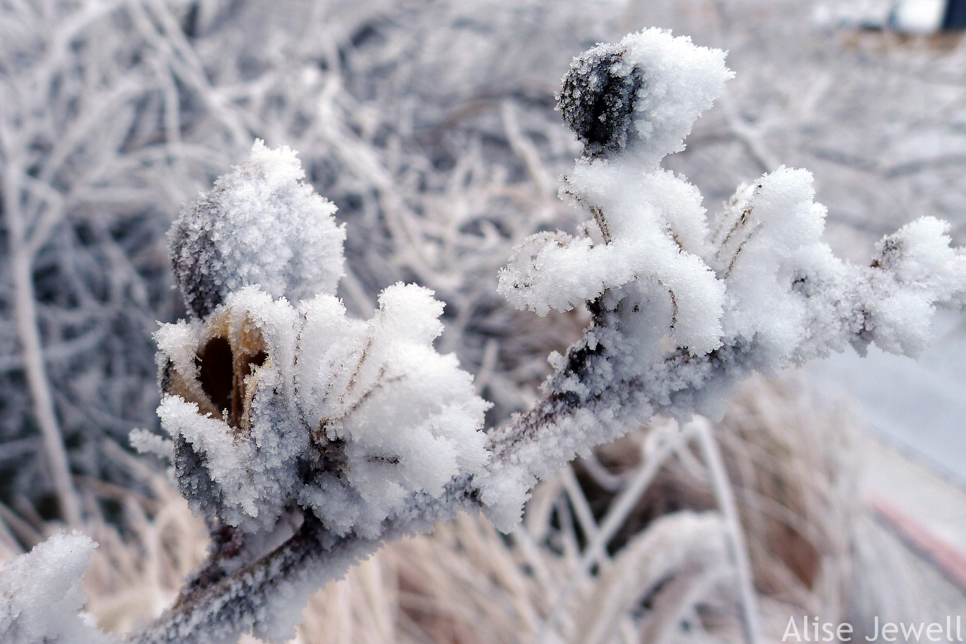 Hoarfrost on Yucca