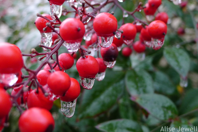 Icy raindrops on Nandina berries